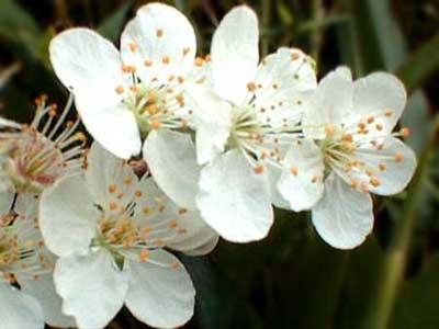 Aspen y Cherry Plum