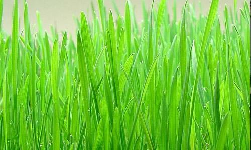 beneficios para la salud del jugo de pasto de trigo