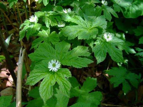 Hierbas medicinales para las alergias
