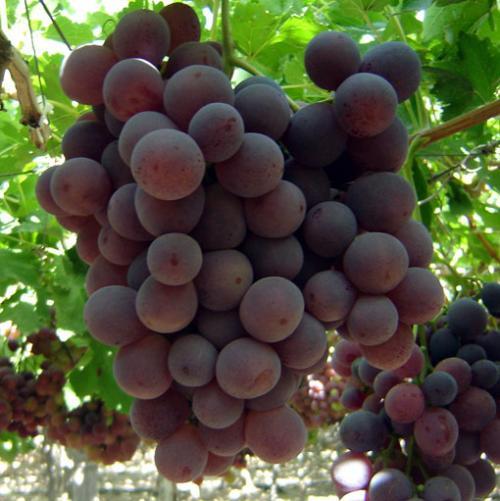 Las uvas ayudan a la diabetes